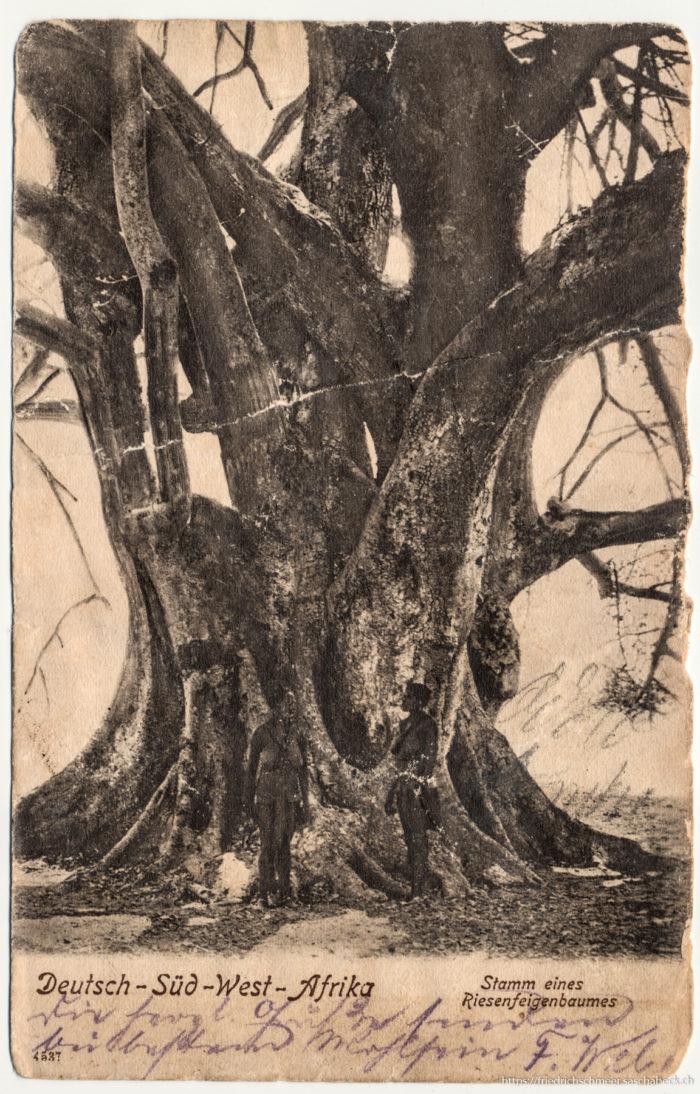 Deutsch-Südwest-Afrika - Stamm eines Riesenfeigenbaums